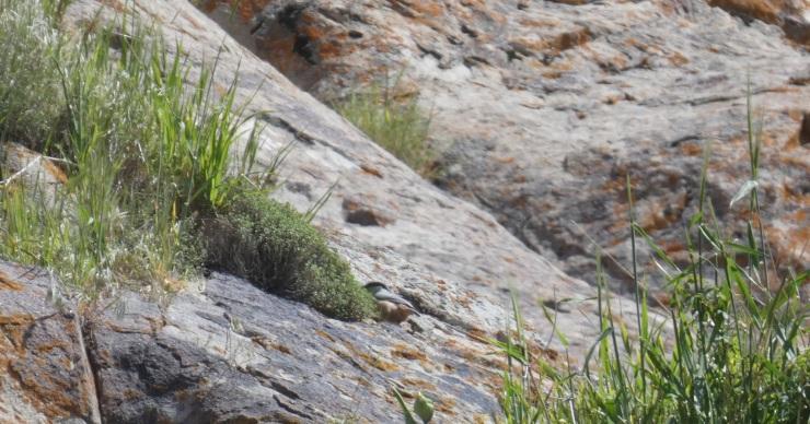 østlig klippespætmejse