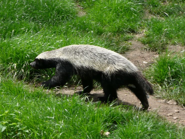 1280px-Mellivora_capensis_in_Howletts_Wild_Animal_Park