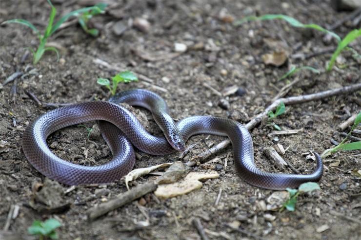 Southern stiletto snake